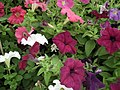 Petunia Single from Lalbagh flower show Aug 2013 8023.JPG