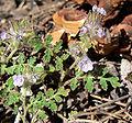 Phacelia cryptantha 5.jpg
