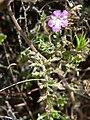 Phacelia vallis-mortae 4.jpg
