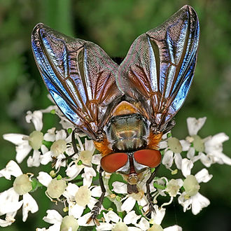 Trodds Copse - Phasia hemiptera