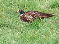 Pheasant in field beside the Wansbeck - geograph.org.uk - 535743.jpg
