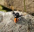 Philaeus chrysops jumping spider.jpg