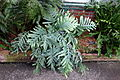 Phlebodium aureum 'Blue Star' - Longwood Gardens - DSC01161.JPG