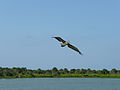 Photo of the Week - An oil-free brown pelican soars over Pelican Island National Wildlife Refuge (FL).jpg