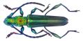 Phrosyne viridis (Audinet-Serville, 1834) Male (34832382691).png