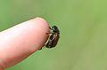 Phyllopertha horticola Finger.jpg