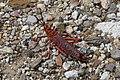 Phymateus leprosus ssp. leprosus (Pyrgomorphidae) – female (36849490014).jpg
