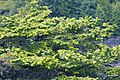 Picea sitchensis Wild Pacific Trail, Ucluelet 3.jpg
