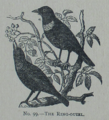 Picture Natural History - No 99 - The Ring-ouzel.png