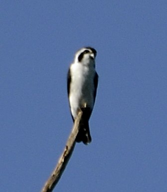 Pied falconet, (Microhierax melanoleucos) from pakke tiger reserve JEG3641 (cropped)