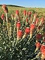 Pimelea decora - Flinders Poppy5656.jpg