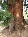 Pinales - Sequoiadendron giganteum - 2.jpg