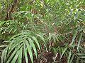 Pinanga cattienensis.jpg