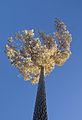 Pine tree in December light (2125360276).jpg