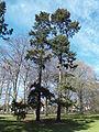 Pine trees, Beijer's Park, Malmo.JPG