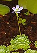 Pinguicula esseriana 02.jpg