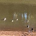 Pink-eared duck Burke River Boulia Queensland P1030188.jpg