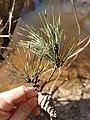 Pinus glabra, Tallahassee, Florida 4.jpg
