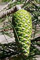 Pinus halepensis - unripe cone - Flickr - S. Rae.jpg