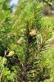 Pinus mugo stems cones 1.JPG