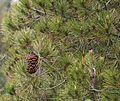 Pinus nelsonii (Nelson's Pinyon) - Flickr - S. Rae.jpg