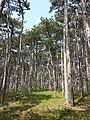 Pinus nigra (subsp. nigra) sl7.jpg