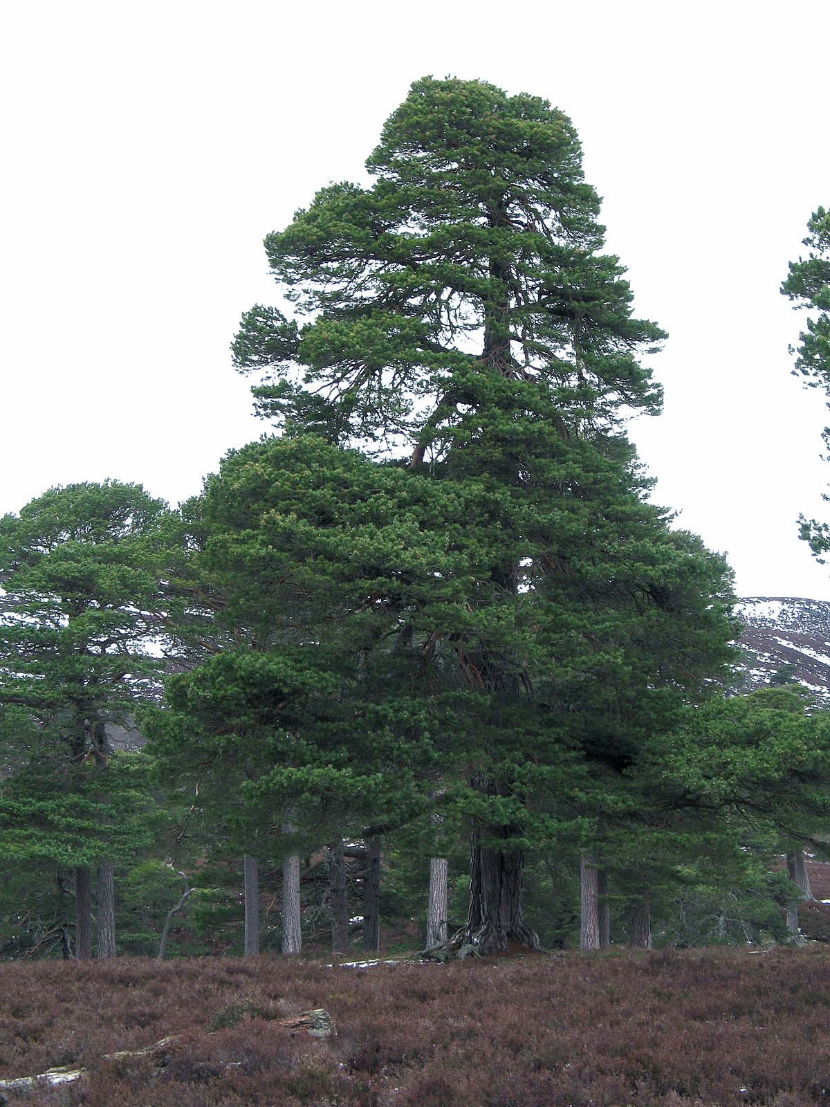 Pinus sylvestris wikipedia for Tipos de pinos para jardin fotos