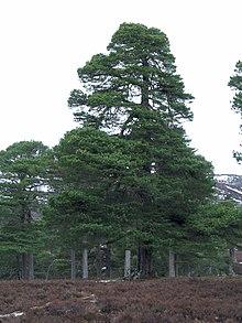 Borovica lesná ( pinus sylvestris ) - príklad ihličnatého stromu