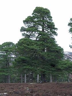 Pinus sylvestris1.jpg