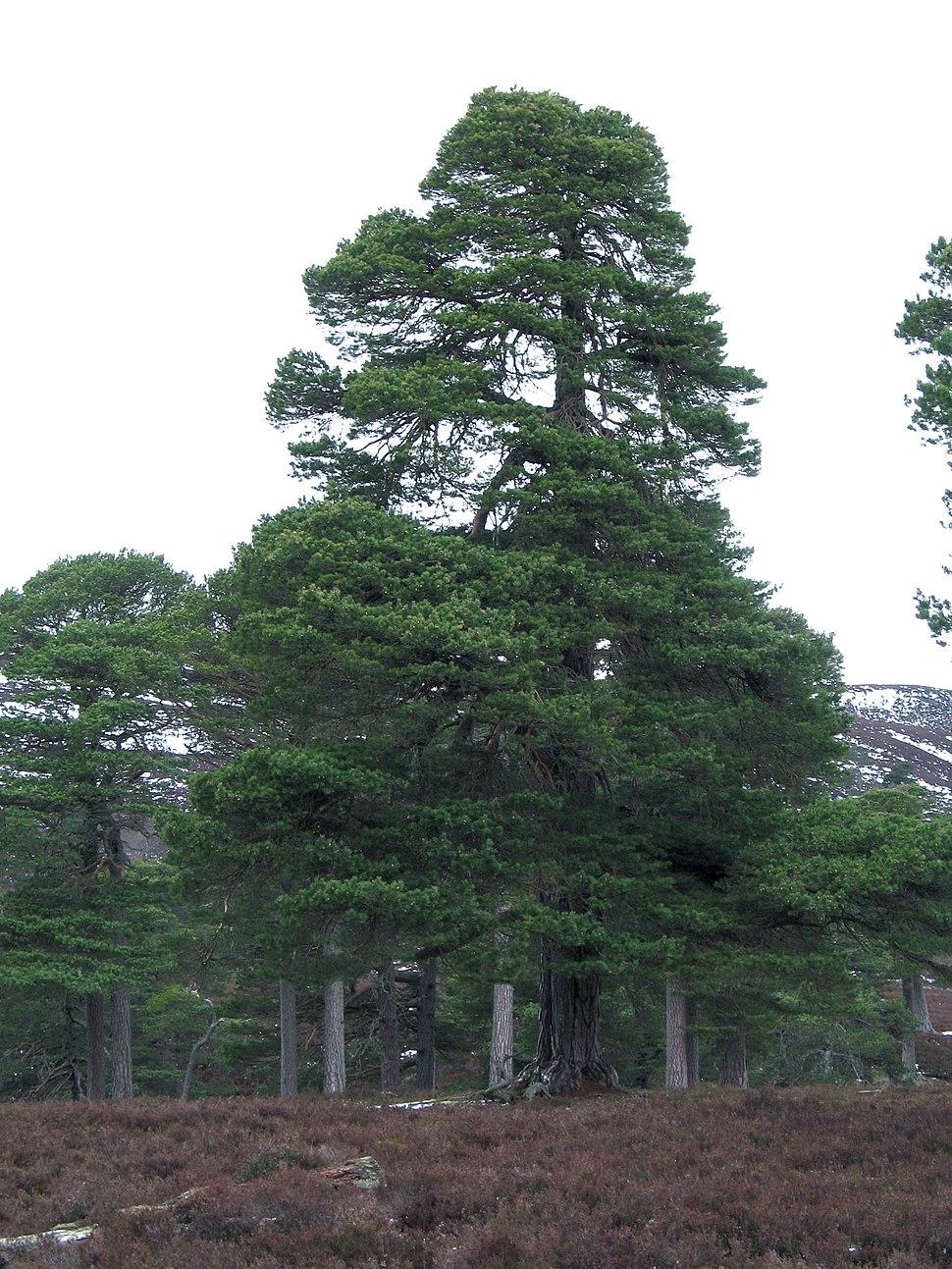 Piñeiro rubio (Pinus sylvestris)