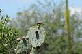 Pinzón mexicano, House Finch. Carpodacus mexicanus (9298634750).jpg