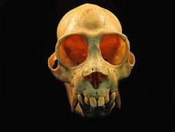 Pithecia skull frontal view 2.jpg