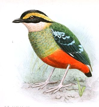 Green-breasted pitta - Image: Pitta reichenowi Goodchild