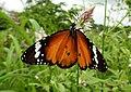Plain Tiger Danaus chrysippus Female by Dr. Raju Kasambe DSCN9570 (1).jpg