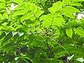 Plant Canarium resiniferum flowers DSCN8619 03.jpg