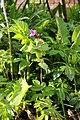 Plantae sp. (26095126133).jpg