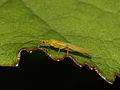 Plecoptera- Chloroperla ? (7568090962).jpg