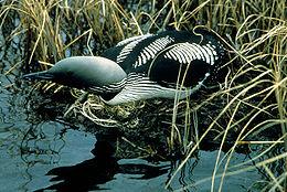 Plongeon arctique nid
