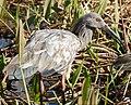Plumbeous Ibis (Theristicus caerulescens) - 48116583507.jpg