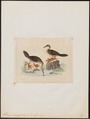 Podica senegalensis - 1820-1863 - Print - Iconographia Zoologica - Special Collections University of Amsterdam - UBA01 IZ17500255.tif