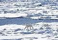Polar Bear (19630655471).jpg