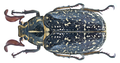 Polyphylla fullo (Linné, 1758) male (19320432796).png