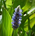 Pontederia cordata. Pickerelweed (38031652314).jpg