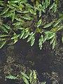 Potamogeton natans IMG 5261.jpg