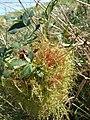 Praha, Cholupice, parazitická rostlina.jpg