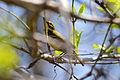 Prairie Warbler (Setophaga discolor) (16514583724).jpg