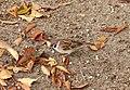 Pretty little sparrow, Hiroshima, Japan, three weeks ago (5222015980).jpg