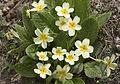 Primula - Çuhaçiçeği 06.jpg