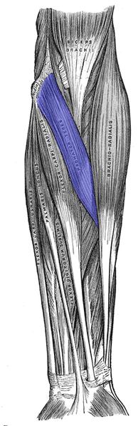 pronator teres muscle - wikipedia, Human Body