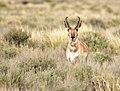 Pronghorn at Seedskadee National Wildlife Refuge (27280922947).jpg